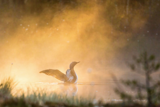 Red throated Loon in fog