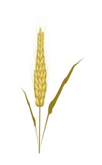 Golden Color of Wheat on White Background