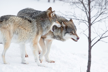Angry wolves in cold snow