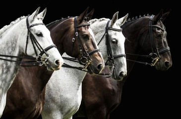 Four horses in dressage competition isolated on black