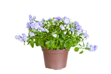 Campanula terry in a flowerpot on a white background