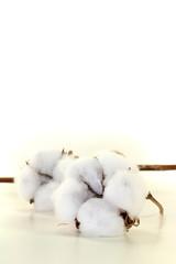 weiße Baumwolle mit Zweig