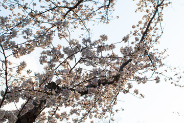 Yoshino cherry tree branches in full bloom in the sky background