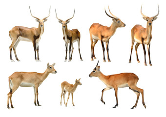 Wall Mural - collection of red lechwe isolated