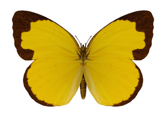 Chocolate Grass Yellow Butterfly