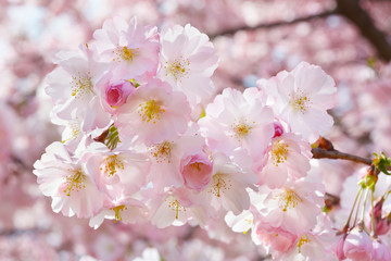 Spring twig with flowers on background with pink blossom