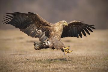 Landing eagle