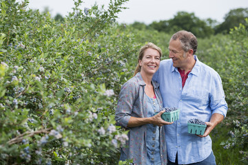 An organic fruit farm. A mature couple picking the berry fruits from the bushes.