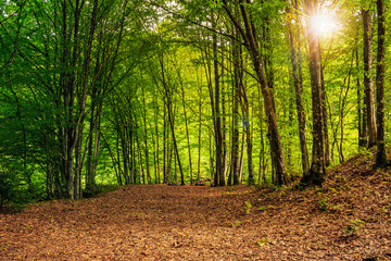forest glade in  shade of the trees with sun beam
