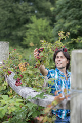 A young man picking blackberry fruits on an organic fruit farm.