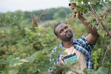 Picking blackberry fruits on an organic farm. A man reaching up to pick berries.