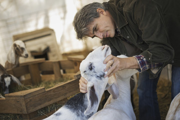 A man in a barn with a flock of goats on an organic dairy farm.