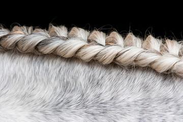 Close up of braided Lusitano horse