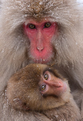 Japanese Macaque on Honsiu Island, Japan