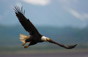 Bald eagle in flight, Katmai National Park, Alaska, USA