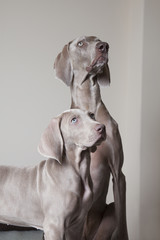 Adult weimaraner dog and puppy looking up