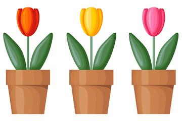 Multicolor tulips in pots