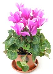 Pink cyclamen in a pot