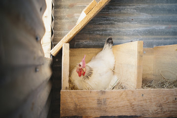 A chicken laying an egg in a nest box in a henhouse.