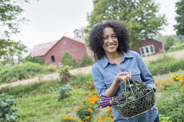 An organic vegetable garden on a farm. A woman carrying a basket of freshly harvested curly green leaves.
