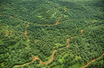 Oil palm plantation, an aerial view of former rainforest land, now planted with a commercial crop, Sabah, Borneo
