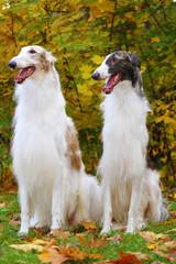 borzoi greyhound dogs