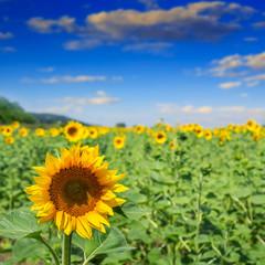 sunflower yellow head on a blur sky background
