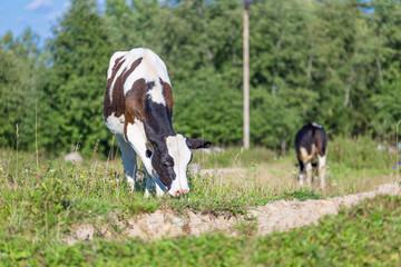 Cow animals