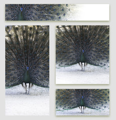 Set of business cards design with peacock