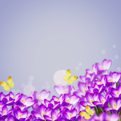 Postcard with fresh flowers crocus  and empty  place for your te
