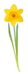 Foto op Canvas Narcis Yellow daffodil