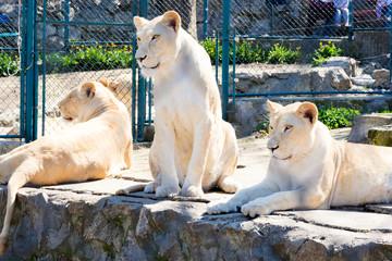 Locked lions