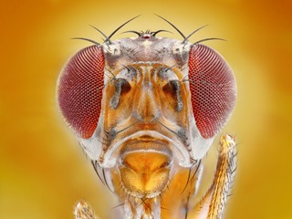 Extreme sharp macro portrait of fruit fly head