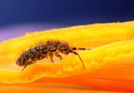 Collembola springtail on pollen macro closeup