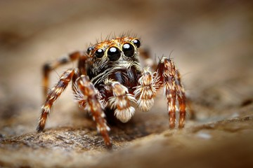 Curious jumping spider close up