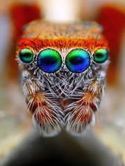 Mediterranean jumping spider close up