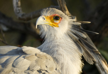 Secretary Bird Looks Back Animal Bird Wildlfie