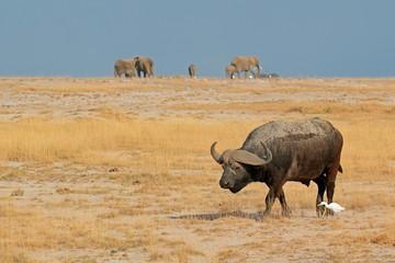 African buffalo, Amboseli National Park