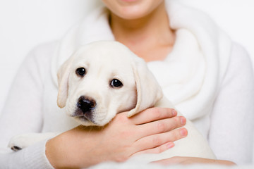 Labrador puppy sits on the hands of woman in white sweater
