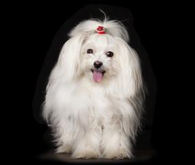 Fototapete - White Maltese dog is sitting on black background