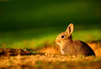 European Rabbit (Oryctolagus cuniculus) in sunset