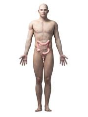 male anatomy illustration - the colon