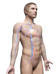 male anatomy illustration - the vascular system