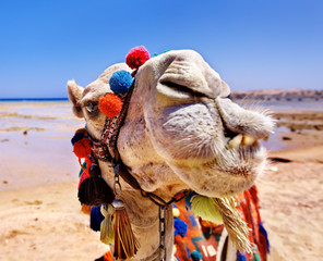 Camel at beach.