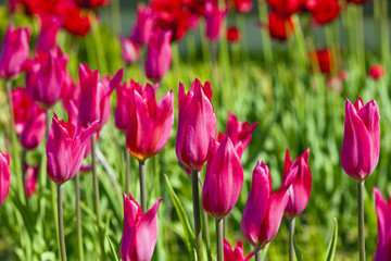 pink  tulips - tulips of  pink color growing in a field.