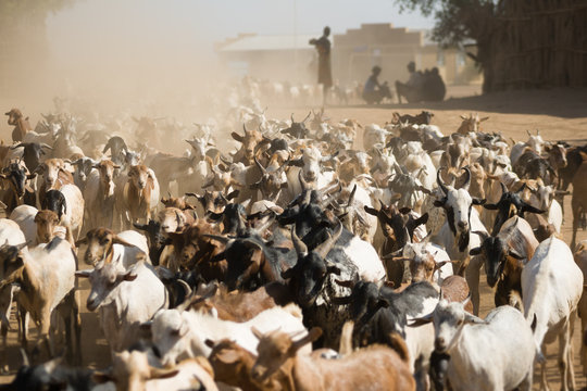 Herd of goats walking on a dusty road near Turmi, Ethiopia.