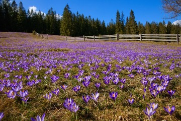 Crocuses in the spring on a mountain meadow, Poland