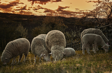 Fototapete - Groups of sheep grazing in a pasture