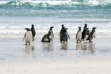 Magellanic Penguins And Gentoo Penguin On The Beach
