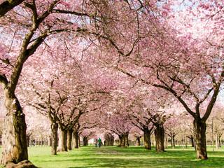 Wall Mural - Romantischer Blütentraum Japanischer Kirschblüten :)